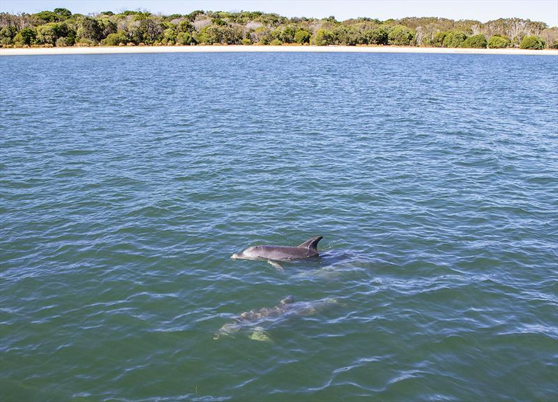 Pod of dolphins came to investigate the Maritimo X50R during our test. - photo © John Curnow